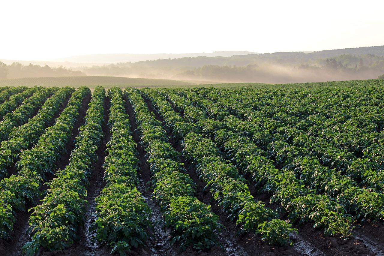 Uporaj się bez kłopotu z chwastami na polu kukurydzy